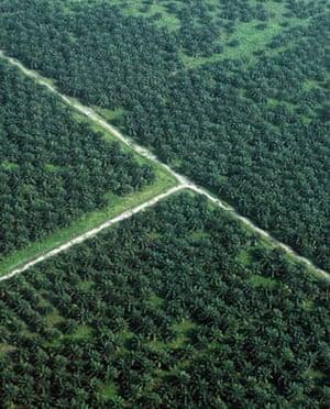 A palm plantation on the outskirts of Medan, North Sumatra