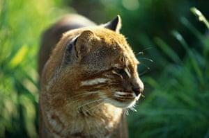 An asiatic golden cat