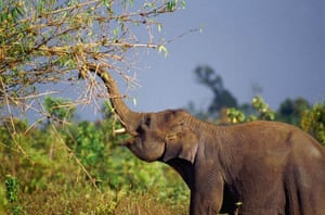 A young Indian elephant feeds on bamboo in Sumatra