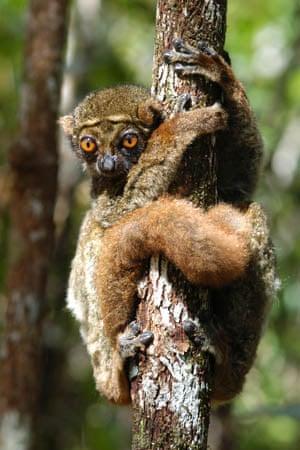 An eastern woolly lemur