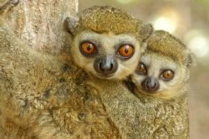 A western woolly lemur