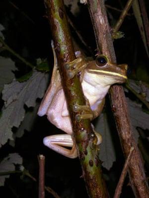 Boophis albilabris