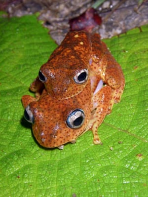 Boophis phyrrus