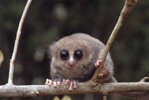 A dwarf lemur