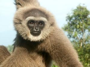 Javan Gibbon, Hylobates moloch, EN, Indonesia