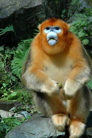 Qinling golden snub-nosed monkey, Rhinopithecus roxellana qinlingensis