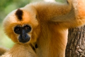 Yellow cheeked crested gibbon (Nomascus gabriellae)