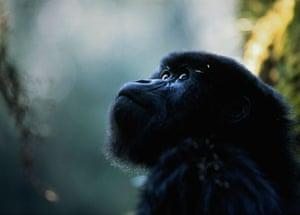 Adolescent mountain gorilla (Gorilla gorilla beringei)