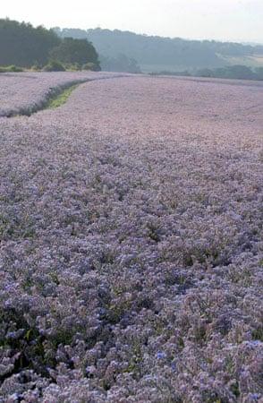 A field of borage