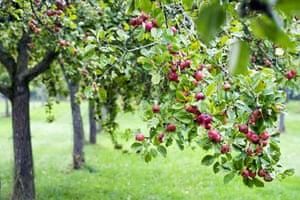 An apple tree orchard