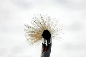 Grey crowned crane of Africa walks in the snow at Attica zoo