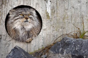 A Pallas's cat sits in the zoo