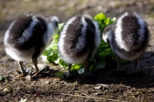 Zurich, Switzerland: Three young capre barren geese eat their salad in the zoo
