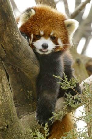 Mao Mi, a red panda