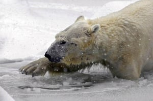 Tundra, a male polar bear, breaks the ice so he can go for a swim in the Bronx zoo's outdoor pool