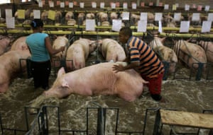 Workers evacuate a pig from a flooded farm when heavy rains caused the Fraile river to flood