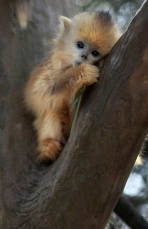 A nine-month-old female golden snub-nosed monkey called Mei Mei