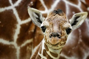 Baby giraffe Niek makes its first public appearance at the animal park Artis