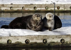 A couple of sea otters sits on a float in the boat harbour