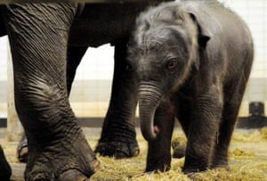Emmen, The Netherlands: An Asian newborn elephant next to his mother in the zoo