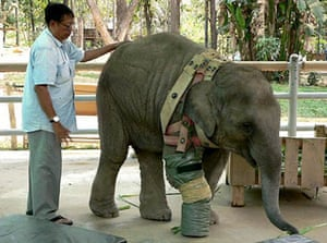 A vet attaches a temporary artificial leg to a female elephant, 'Mocha'