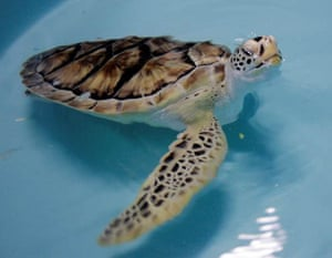 Allison, a three-year-old atlantic green sea turtle