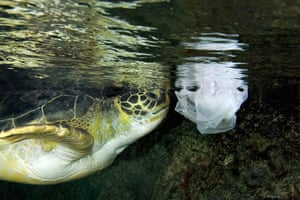 A green sea turtle swims near a plastic bag