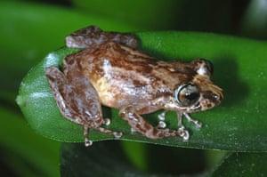 Eleutherodactylus locustus