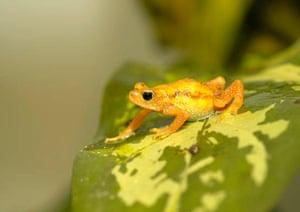Kihansi spray toad