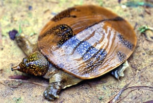 South-east Asian soft shell turtle