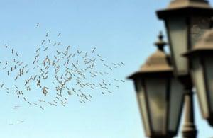 Odessa, Ukraine: A flock of storks circles above the city