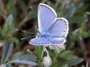 A rare silver-studded blue butterfly