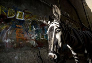 Tijuana, Mexico: A painted donkey named Ruben, known as a 'Mexican Zebra'