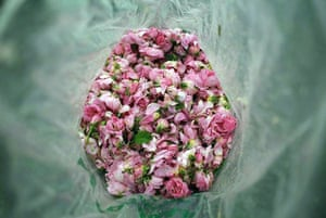 Tarnichene, Bulgaria: Rose blossom in a plastic bag on a rose field