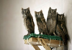 Beijing, China: Owls sit in their enclosure at the Raptor Rescue Centre