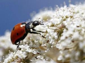 Roseburg, US: A ladybird walks on Queen Anne's lace wildflowers