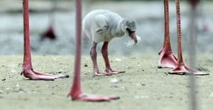 Hanover, Germany: A flamingo chick seeks its mother's protection at the zoo. The first chick to hatch at the zoo in six years is now six days old