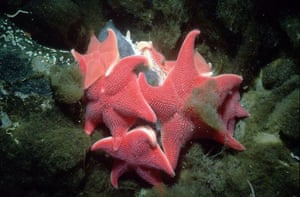 South Cove, Antarctica: A group of cushion stars (Odontaster validus) feeding on seal feces