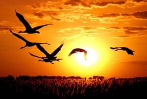 Cranes in flight