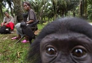 An infant bonobo monkey in the Congo basin