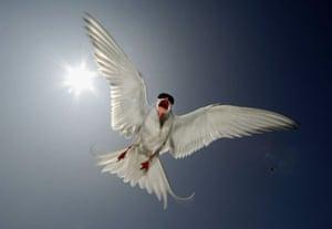 A Tern