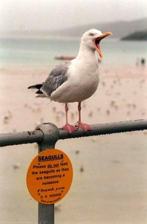 Seagull in Cornwall