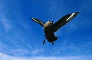 Southern Skua in Flight