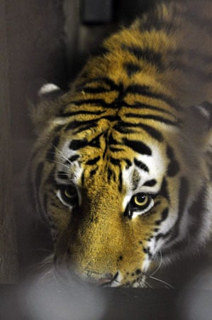 Anchorage, Alaska: Karol, a four-year-old, 450-pound Amur tiger, walks around his new home at the zoo