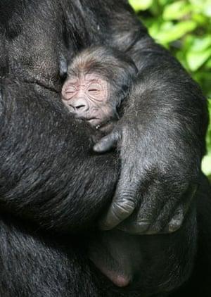 Amsterdam, Netherlands: A gorilla holds her newborn baby in the Artis zoo