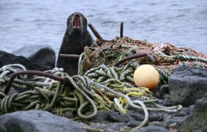 St Paul Island, Alaska: A male fur seal defends its territory on a beach