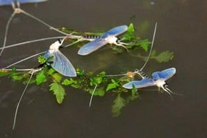 Nagykoerue, Hungary: Mayflies swarm on the Tisza river