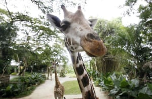 Singapore: Giraffes look into the camera as they wait to be fed by visitors at the zoo
