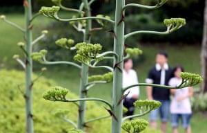 Jeju Island, South Korea: Agave plants appear in a garden