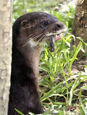 Takeo province, Cambodia: A male hairy-nosed otter eats fish at Phnom Tamau zoo